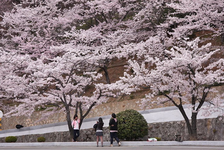 jinhae cherry blossom festival, cherry blossoms in korea