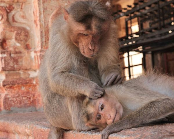 two monkey cleaning