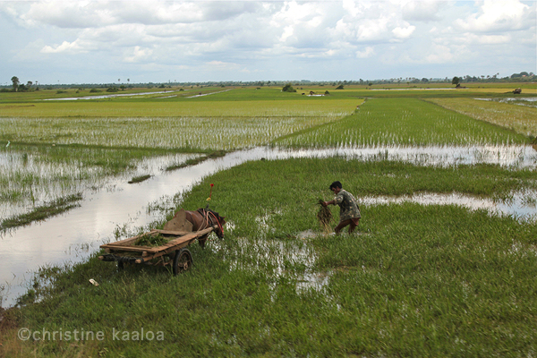 rice paddy fields cambodia