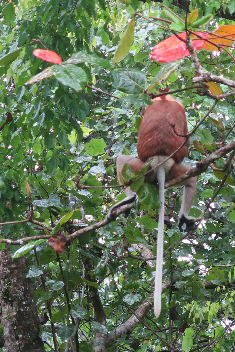 proboscus monkey, From secluded beaches, mangroves, a high and low tide exposing what's above and below seas, the island offers varied terrain and astounding surreal beauty.