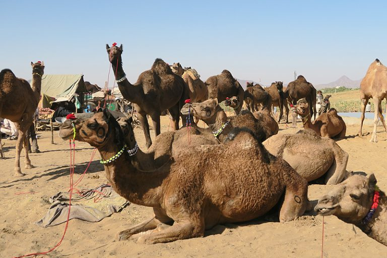 My Ultimate Pushkar Travel Guide Things To Do And Eat