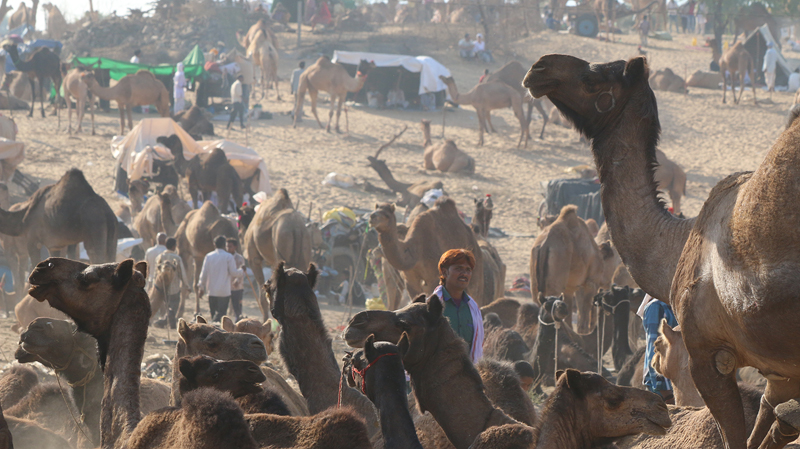 Pushkar Camel fair, Savitri Mountain , things to do in pushkar, pushkar attractions