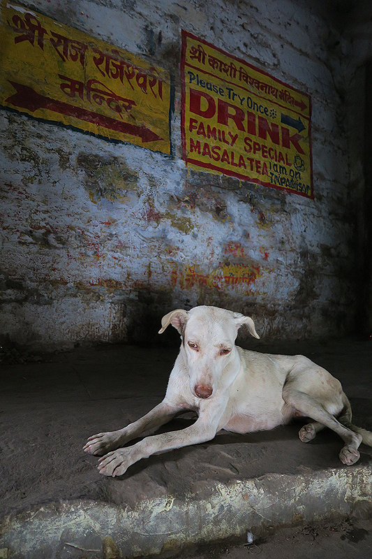 homeless dogs in india