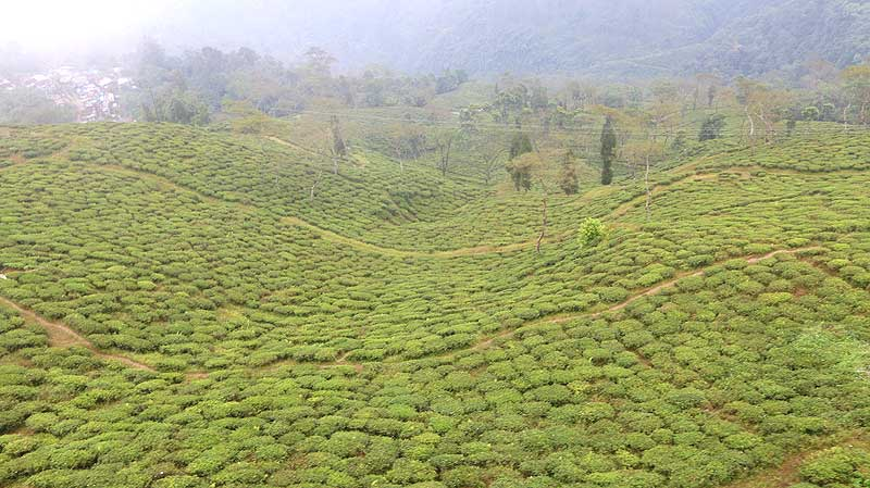 darjeeling tea plantation, darjeeling tea, darjeeling things to do
