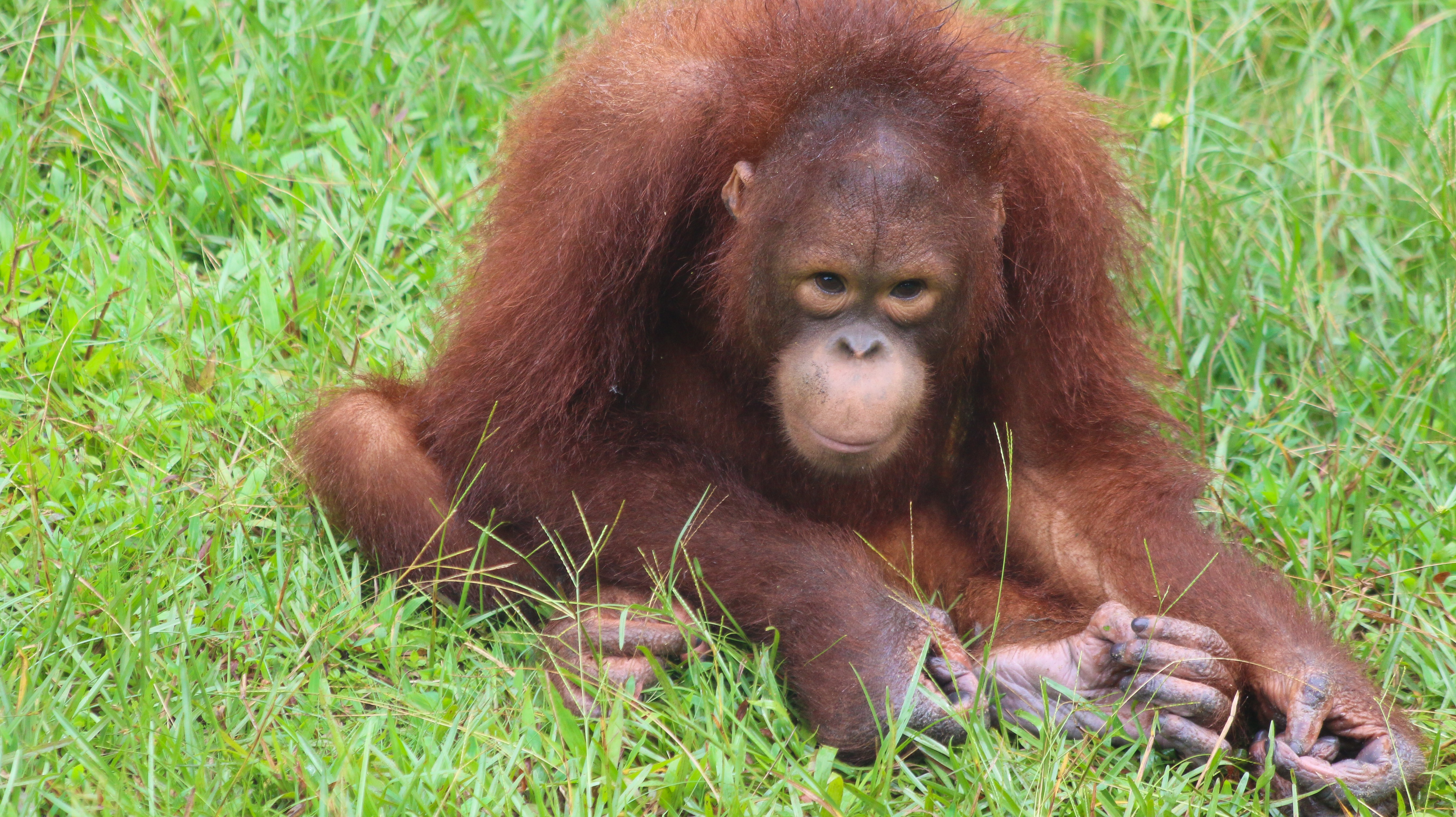 matang wildlife reserve, orangutans in rehabilitation