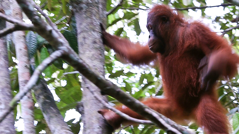 Visiting Borneon Orangutans In The Forests Of Sarawak