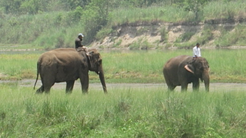 chitwan national park elephants, meghauli serai elephants