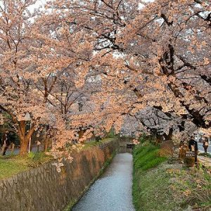best cherry blossom spots of kyoto osaka nara, kansai travel guide, philosophers walk