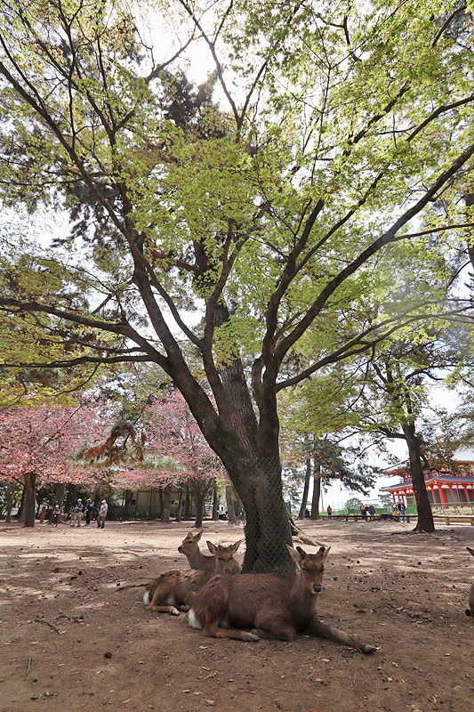 nara deer park kansai travel